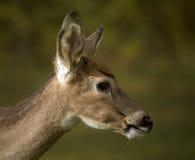 första tillväxt för horn på kronhjort Arkivfoton