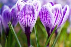 Första vårblommor, grupper av violetta eller lila krokusar arkivbild