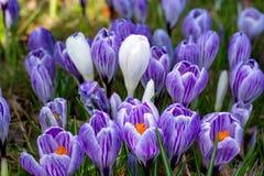 Första vårblommor, grupper av violetta eller lila krokusar arkivbilder