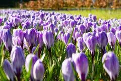Första vårblommor, grupper av violetta eller lila krokusar arkivfoto