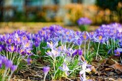 Första vårblommor, grupper av violetta eller lila krokusar royaltyfri foto