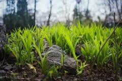 Första vårgrönska i trädgården, naturbakgrund Arkivbild