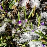 Första violetta krokusblommor Fotografering för Bildbyråer