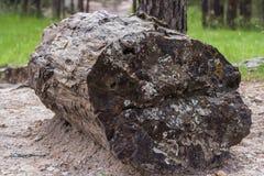 Förstenat trä Arkivfoton