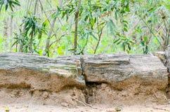 Förstenat trä Arkivbild