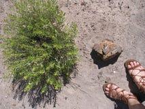 Förstenat trä och ökenbuske Arkivbild