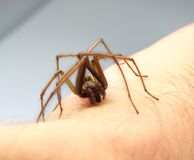 försvarande spindel Royaltyfri Foto