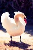 Försvarande svan Royaltyfria Bilder