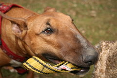 försvarhund Royaltyfria Foton