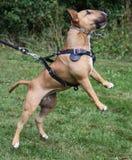 försvarhund Arkivfoto