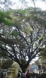 förtjäna av trädfilialer Royaltyfri Bild