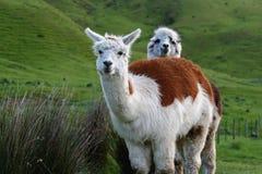 förtjusande alpacas två Arkivbild