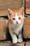 Förtjusande apelsin-vit kattunge med blåa ögon Royaltyfri Bild