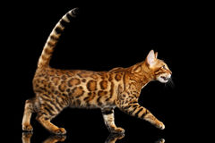 Förtjusande avelBengal katt som isoleras på svart bakgrund arkivbild