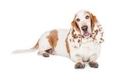Förtjusande Basset Hound hund som lägger med den öppna munnen Royaltyfria Foton