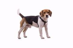 förtjusande beagle royaltyfria foton