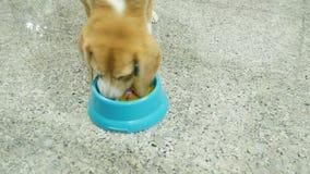 Förtjusande beagle som väntar för att äta barfmat arkivfilmer