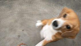 Förtjusande beagle som väntar för att äta mat ivrigt lager videofilmer