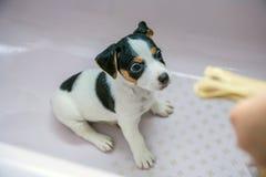 Förtjusande beaglevalp i förgrunden arkivbilder