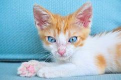 Förtjusande behandla som ett barn katten med blåa ögon Arkivbilder