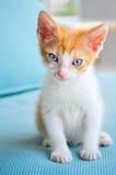 Förtjusande behandla som ett barn katten med blåa ögon Fotografering för Bildbyråer