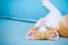 Förtjusande behandla som ett barn katten med blåa ögon Arkivbild
