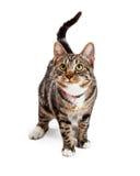 Förtjusande Bengal Cat With Attentive Expression Arkivfoto