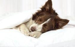 Förtjusande Border collie hund som ligger på en säng under filten royaltyfri bild
