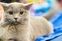 Förtjusande britan grå katt med orange ögon Royaltyfria Bilder