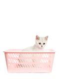 förtjusande brittisk kattunge Royaltyfria Foton