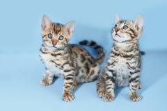 Förtjusande bruna prickiga bengal kattungar Royaltyfria Bilder