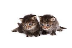 Förtjusande bruna strimmig kattkattungar, på vit Royaltyfri Fotografi