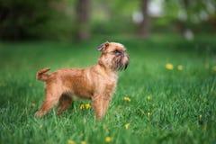 Förtjusande brussels griffonhund utomhus i sommar royaltyfria bilder