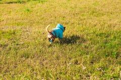 Förtjusande chihuahuahund Arkivfoton