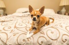 Förtjusande chihuahuavalpsammanträde på väl till mods säng Royaltyfria Foton