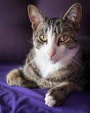 Förtjusande Closeup Cat Portrait på soffan Fotografering för Bildbyråer