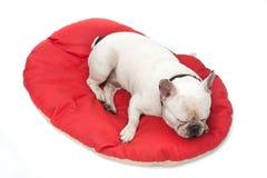 Förtjusande fransk bulldogg på lya Fotografering för Bildbyråer