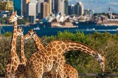 Förtjusande giraff med den Sydney Opera House och Sydney CBD sikten Arkivbild