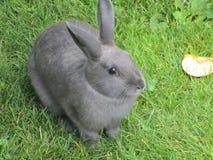 Förtjusande grå kaninkanin från att dalta zoo i Vancouver Arkivbilder