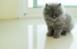 Förtjusande grå kattunge Royaltyfri Bild