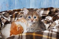 Förtjusande grå kattunge på plädfilten Fotografering för Bildbyråer