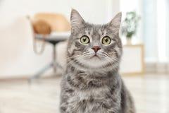 Förtjusande grå strimmig kattkatt royaltyfria foton