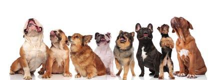 Förtjusande grupp av åtta nyfikna hundkapplöpning som ser upp arkivfoton