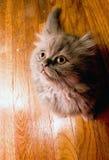 förtjusande gullig kattungeperser Arkivbilder