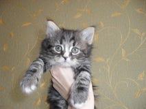 Förtjusande gullig liten randig grå fluffig kattunge royaltyfri bild