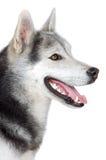 förtjusande hund Fotografering för Bildbyråer