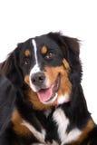 förtjusande hund Royaltyfria Foton