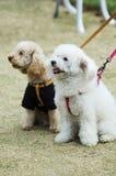 förtjusande hundar två arkivbild
