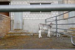 Förtjusande kalv i en stor kolantgård royaltyfri bild