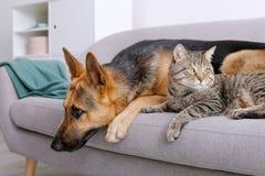 Förtjusande katt och hund som tillsammans inomhus vilar på soffan royaltyfria bilder